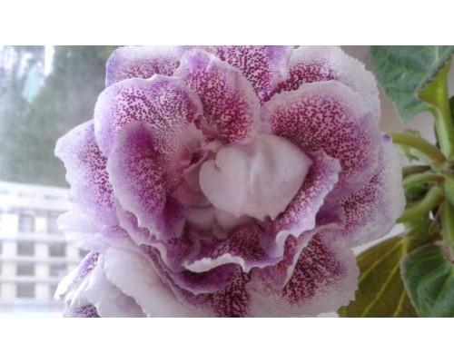 Пурпурная Россыпь