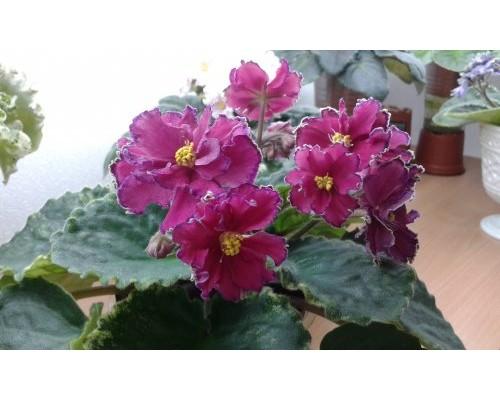 ПТ-Аделина (Пугачёва) • Фиалочный Островок. Форум цветоводов и ... | 400x500