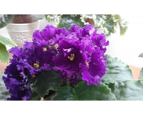 НК-Тирский Пурпур