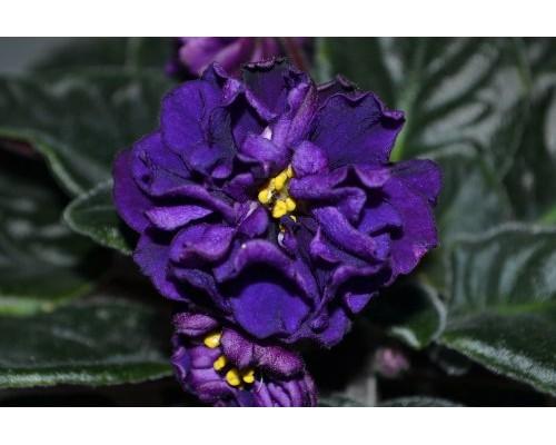 рядом фиалка тирский пурпур фото плотные