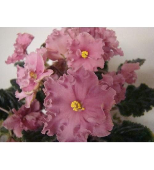 РМ-Розовая Хризантема