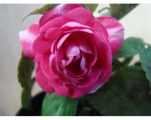 Fiesta Sparkler Rose