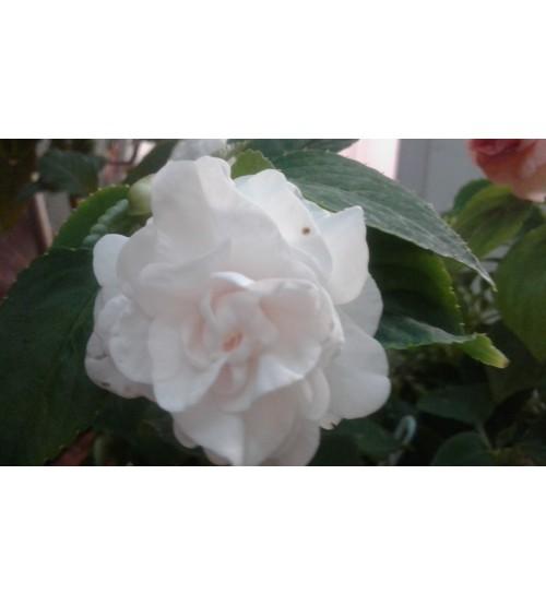 Walleriana White Gardenia