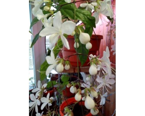 Клеродендрум Шмидта(Clerodendrum schmidtii)