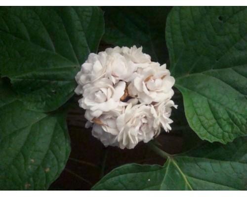 Клеродендрум Филиппинский(Clerodendrum philippinum)