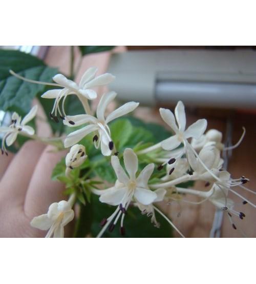 Клеродендрум Каламитозум (Clerodendrum calamitosum)