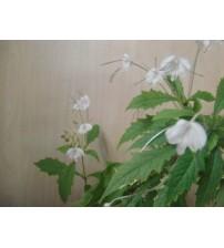 Клеродендрум Музыкальные  Нотки вариегатный (Clerodendrum incisum Macrosiphon)