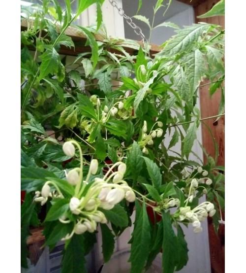 Клеродендрум Музыкальные  Нотки (Clerodendrum incisum Macrosiphon)