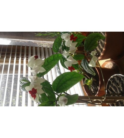 Клеродендрум Томпсона(Clerodendrum thomsoniae)