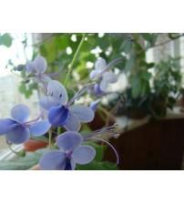 Клеродендрум Угандийский (Clerodendrum ugandens)
