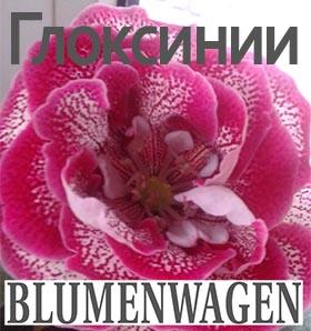 Купить растения Глоксинии